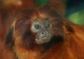 Golden Lion Tamarin by panda69680102