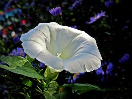 Bindweed by April-Mo