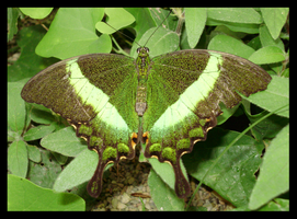 Green butterfly by ButterFly-Away