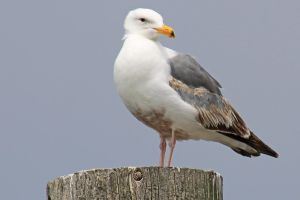 Seagull by Tyrant60