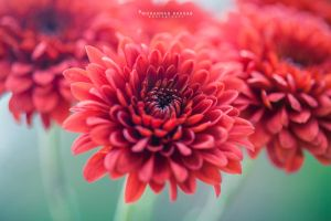 Red flower by MohannadQassab