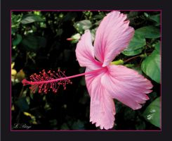 Hibiscus Flower by LukasB86