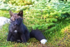Baby Fox in the Woods 8 by Witch-Dr-Tim