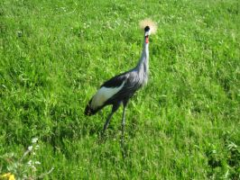 African Crowned Crane by Fireborn46