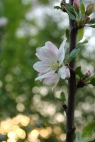 apple blossem and the setting sun by Shearkin