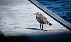 Seagull`s chick by RLPhotographs