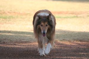 Sunset Collie Two by CarissaGagashi