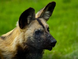 African Painted Dog 00 - Jun 12 by mszafran