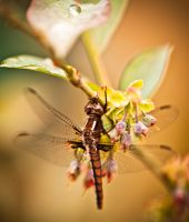 Dragonfly by juhitsome