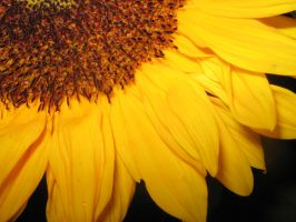 sunflower by tienes