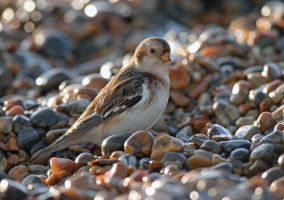 Well hidden - Snow Bunting by Jamie-MacArthur