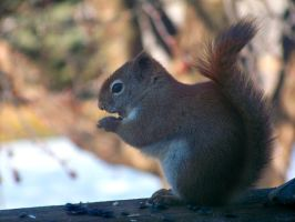 Northern Red Squirrel by jerrinator