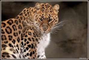 My Amur 4 by SilkenWinds