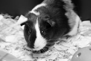 CPR Guinea Pigs VII by LDFranklin
