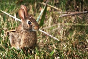 Peter Cottontail by JustinDeRosa