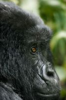 Mountain Gorilla 3 by catman-suha