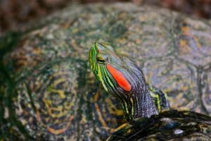 Beautiful Baby Turtle by Sp3nc3r-H1nds