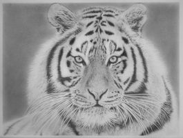 Tiger by Gough83