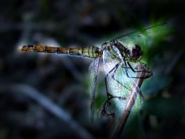 dragonfly by danamis
