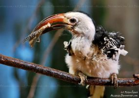 Red-billed Hornbill by Allerlei