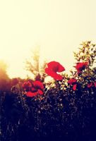Poppies by Argiope-Bravado