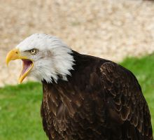 Bald Eagle1 by NickiStock