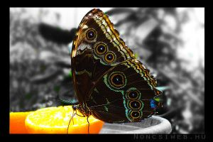 Butterfly_4 by Noncsi28