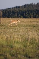 Young Pronghorn by wyorev