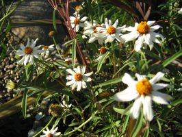 daisies1 by spoofy-stock