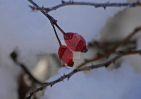 Icy rose hip by NiVosta