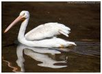 White Pelican 004 by ShineOverShadow