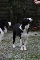 Collie Dogs 17 by Tasastock