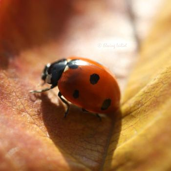 Ladybird by Elwing-Isiliel