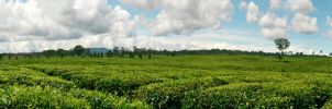 Tea Field by xhen