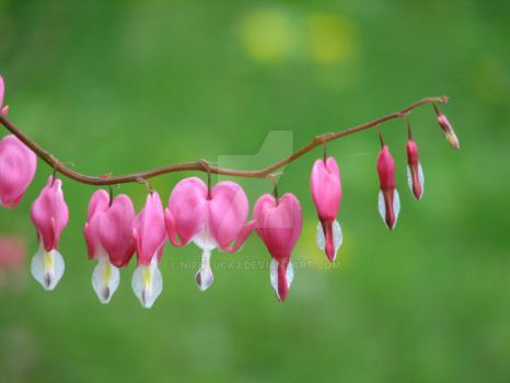 bleeding hearts by Nipntuck3