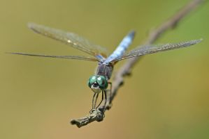 Male Blue Dasher by wreckingball34