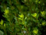 Boxwood by alimuse