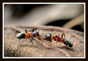 Carpenter ant workers by DuffyGraham