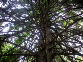 Old Conifer by ImpatientOne