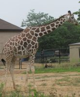 The Zoo: Giraffe 2 by en-visioned