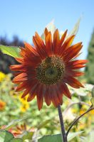 Rusty sunflower by snoogaloo