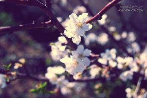 cherry-like blossoms by almostkilledme