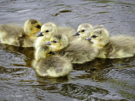Babytime Geese by Mogrianne