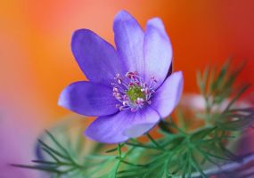 Hepatica nobilis by efeline