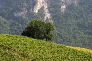Vineyard and the tree by risbo