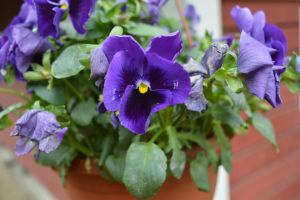 Purple Pansies by Lightningball