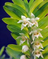 Petite white orchids by fosspathei