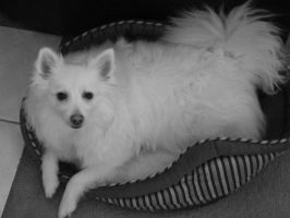 American Eskimo I by Photos-By-Michelle