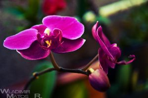Orchid by wla91