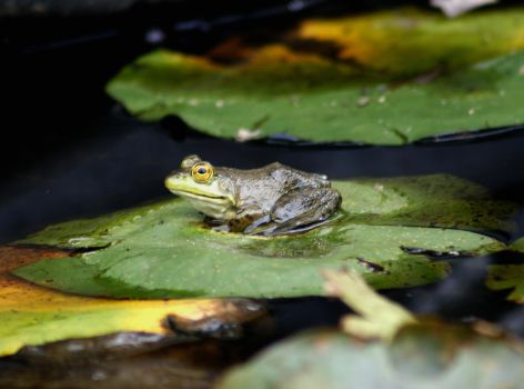 Possibly Young American Bullfrog by Crematia18